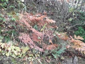 2011.11.3 紅葉したゼンマイ.JPG