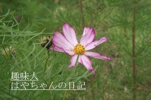 2011.7.29 コスモス.JPG