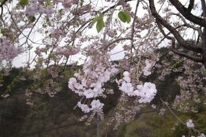 2011年5月8日 上山市楢下にて.JPG