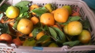 収穫した柿.JPG