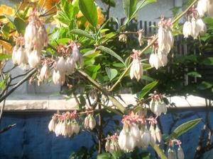 ブルーベリーの花.JPG