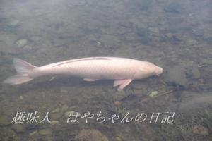 前川ダムにて大鯉.JPG
