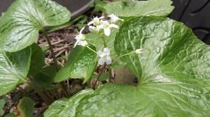 我が家のワサビの花.JPG