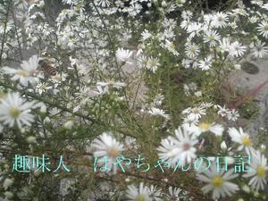 日本ミツバチ.JPG