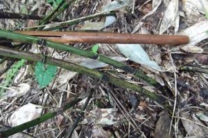 隈笹の茎.JPG