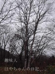 2011.11.20 白樺.JPG