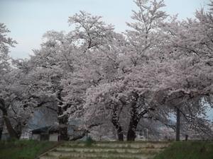 2011.4.30 桜.JPG