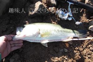 2011年9月7日 花森湖にて 45センチ 2.JPG