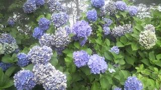 お盆に咲く紫陽花.JPG