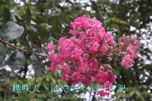 さるすべりの花.JPG
