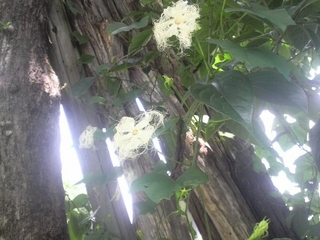 カラスウリの花.JPG