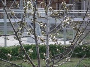サクランボの花 開花.JPG