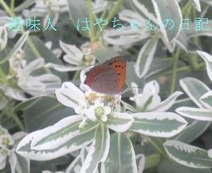 シジミ蝶.JPG