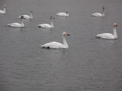 白鳥の群れ.JPG