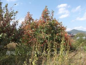 紅葉した柿 2011年10月16日.JPG